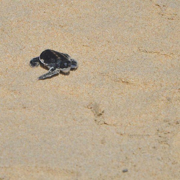 resorts world kijal terengganu turtle conservation effort