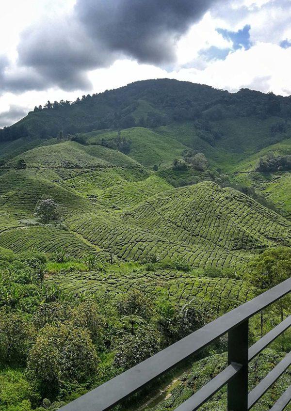 boh sungei palas tea centre cameron highland plantation