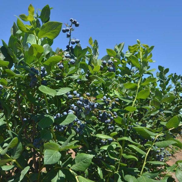 washington blueberries farm